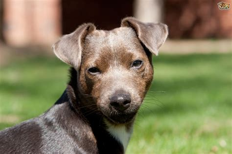 The Patterdale Terrier patterdale terrier breed information buying advice
