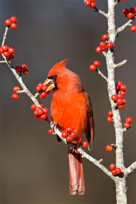 094e8943 cardinal eating berries wesleying