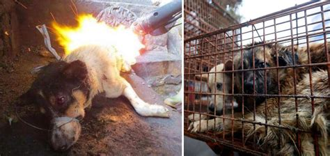 dogs in china travels 1 500 and pays 1 100 to save 100 dogs from