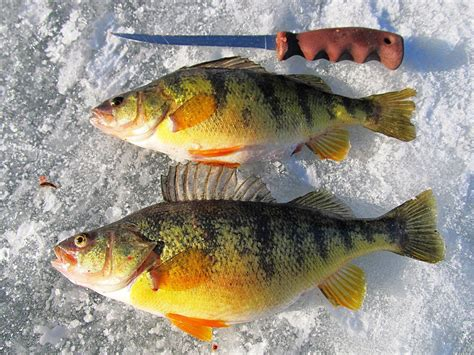 Search For The M Perch Fishing Is On Holter Lake Outdoors Mtstandard