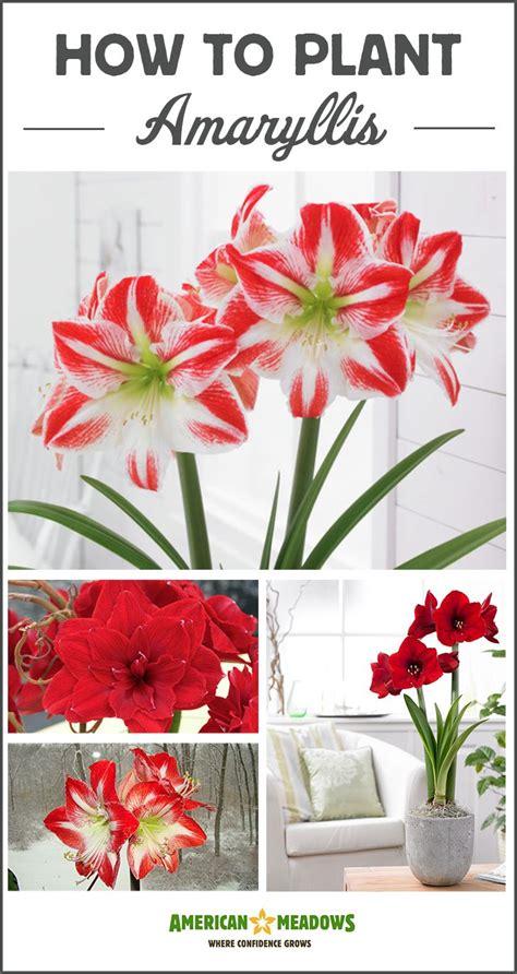 1000 ideas about amaryllis bulbs on pinterest bulbs white flower farm and spring bulbs