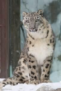 Snow Jaguar 1000 Ideas About Snow Leopard On