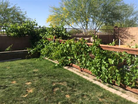 backyard grape vine five tips for growing grapes in phoenix handmade and