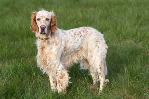 setter dogs pin setter and puppies puppy picture on