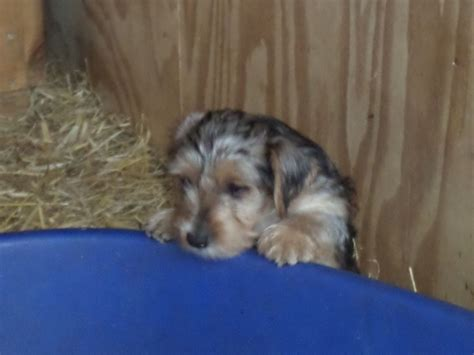 pug cross patterdale terrier yorkie x pug 250 posted 1 year ago for sale dogs terrier quotes