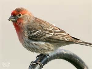 Most Common Backyard Birds - house finch wild delightwild delight