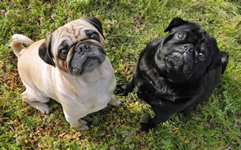 pugs brachycephalic pug brachycephalic airway obstruction baos ufaw