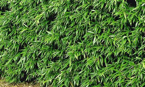 Sichtschutz Garten Pflanzen 106 by 8 Pflanzen F 252 R Bambushecke Groupon