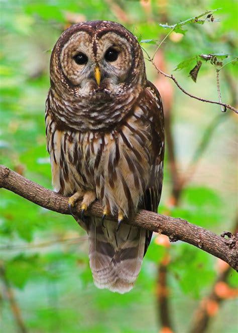 owl symbolism pure spirit symbolic owl meaning spirit totem power animal messengers