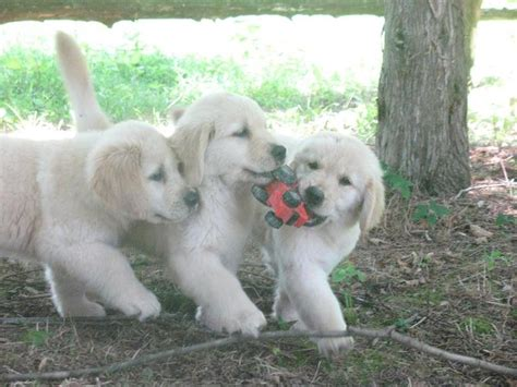 golden retriever puppies tx for sale white golden retriever puppies