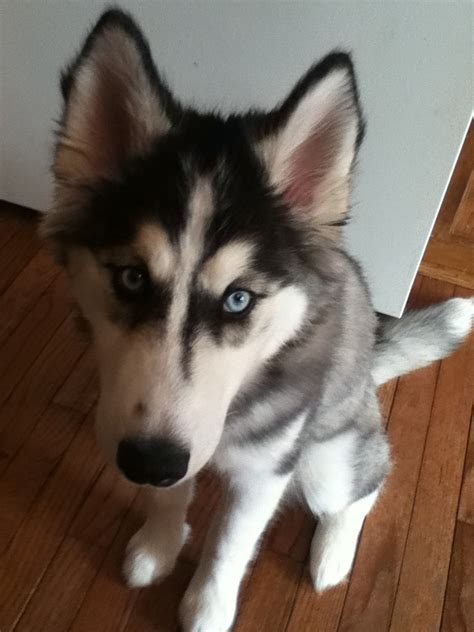 pomeranian husky price range 17 best images about huskys on sharks huskies puppies and nom nom