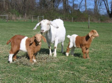 top 28 raising goats how to raise and care for goats dengarden beginners guide to raising