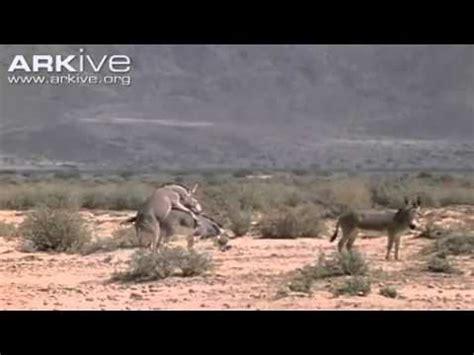 animal salvaje temporada de apareamiento burro  caballo  animales silafnlaunlanly