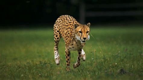 is a jaguar faster than a cheetah why are cheetahs so fast animalanswers co uk