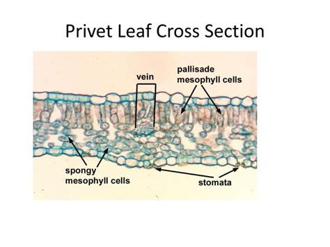 privet leaf cross section privet leaf cross section sectional ideas