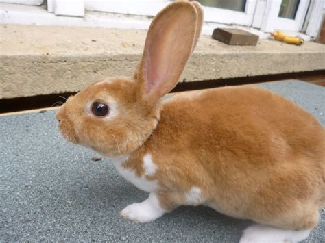 pet varieties 10 popular and rabbit breeds that are raised as pets the self sufficient living