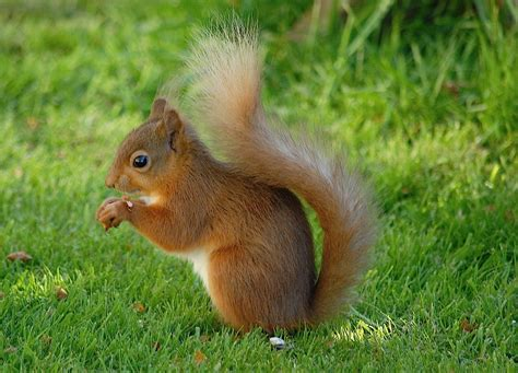1000 images about squirrel on pinterest red squirrel