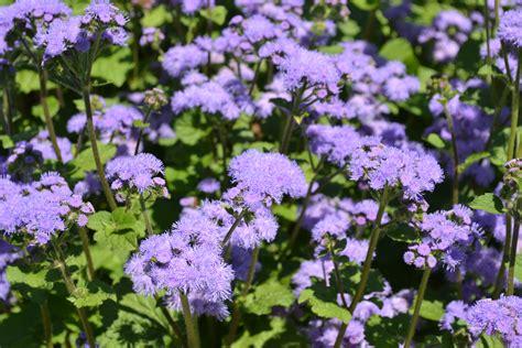purple annual flowers clean cut property