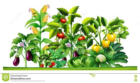 how to plant vegetables in a garden fresh vegetable plants growing in the garden stock vector