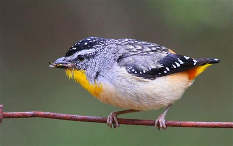 richard waring s birds of australia spotted pardalote