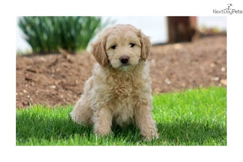 goldendoodle puppy cost goldendoodle puppy for sale near lancaster pennsylvania