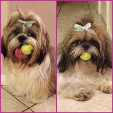 shih tzu exercise shih tzu information center exercise requirements