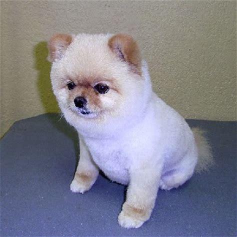 pomeranian grooming cuts pomeranian puppy cut grooming