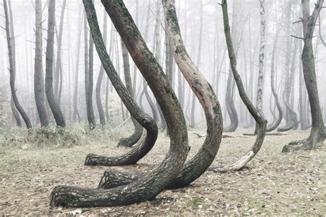 crooked forest poland crooked forest 400 pine trees are oddly bent 90 degrees