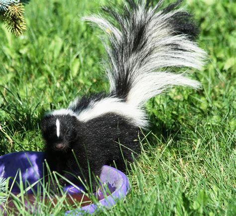 skunk in backyard 100 how to get rid of a skunk in your backyard get