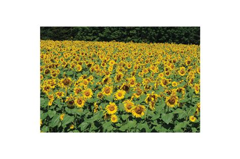 Royal Sunflower royal hybrid 174 1121 sunflower seed johnny s selected seeds