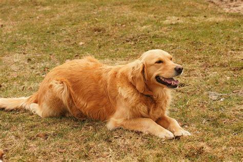 rhodesian ridgeback golden retriever mix golden retriever rhodesian ridgeback mix breeds picture