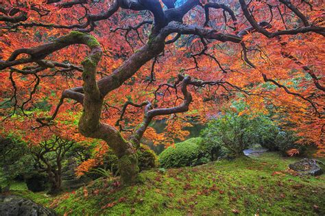 Japan Home Decor japanese maple tree photograph by mark kiver