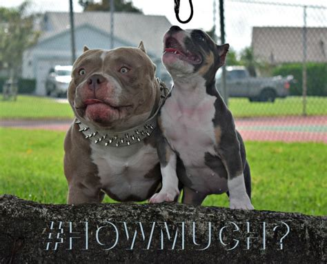how much does an american bully cost