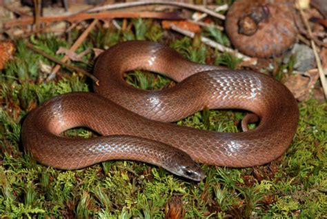 smooth earth snake facts  pictures