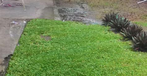 tanaman hias  menanam rumput gajah mini varigata