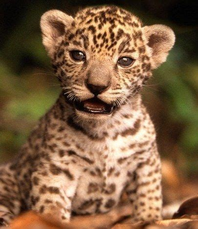 Imagenes De Jaguar Bebe | 17 mejores ideas sobre jaguar beb 233 en pinterest pantera