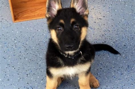 german shepherd puppies cost german shepherd puppies cost