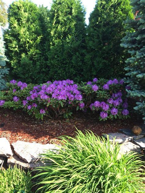 best 25 arborvitae landscaping ideas on