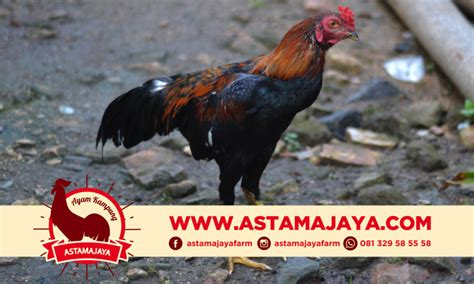 supplier ayam kampung  semarang supplier