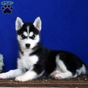 husky puppies pa siberian husky puppies for sale in pa