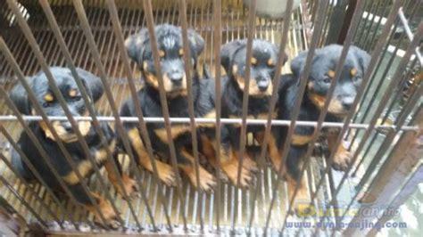 Anakan Arwana Murah dunia anjing jual anjing rottweiler jual anakan rottweiler murah