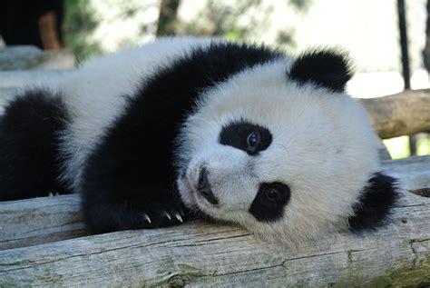 www panda at eight months toronto zoo panda cubs starting to
