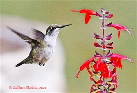 stokes birding blog hummingbirds are coming