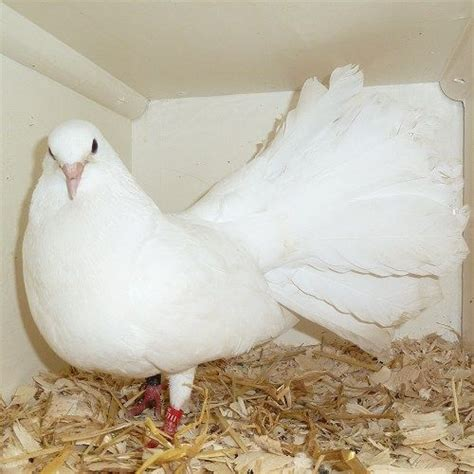 keeping fantails in a dovecote baby white fantail dove