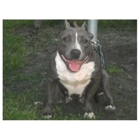 puppies for sale in stockton ca blue nose pitbull puppies for sale healdsburg ca pennysaverusa breeds picture