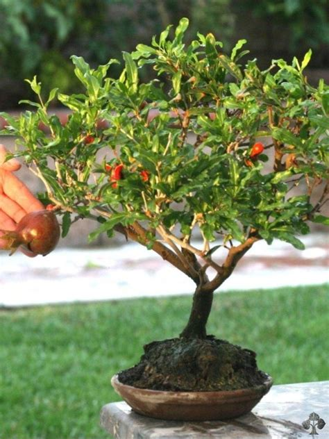 pianta di melograno in vaso pomegranate punica granatum bonsai empire