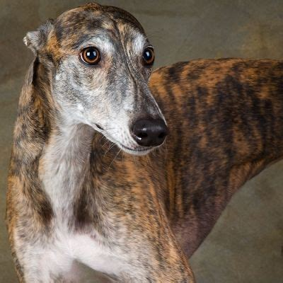 Ridiculously Cool Website Whippet Grey by Rescue Greyhounds Animals