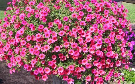fiori da balcone estivi fiori da balcone estivi e primaverili idee green