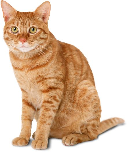 Download Cat Png HQ PNG Image   FreePNGImg