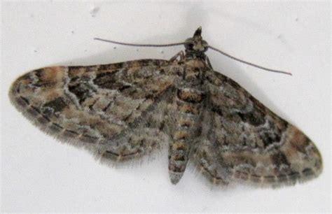 grey pug moth striped pug